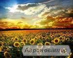 Семена подсолнечника сорт Мир ВНИС