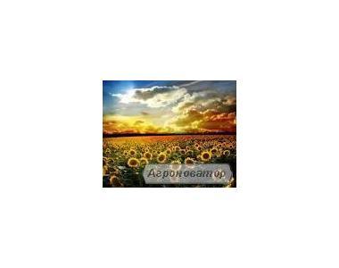 Насіння соняшнику сорт Світ ВНІС