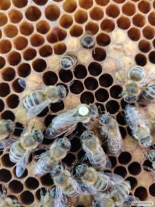 Купить пчеломатку Карника ( CARNICA)