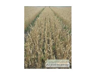 Насіння озимої пшениці - сорт Нота. Еліта та 1 репродукція