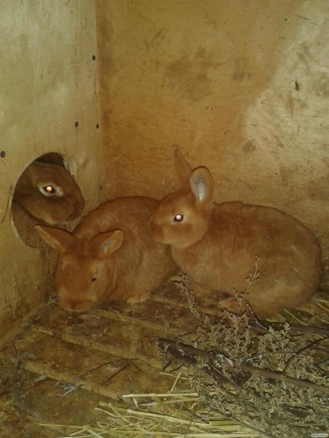Кролики НОВОЗЕЛАНСКИЕ ЧЕРВОНІ