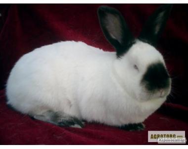 продам племінних кроликів каліфорнійських