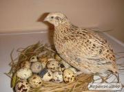 яйця-м'ясо перепiлочки