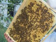Пчелопакеты Карпатской породы 2017