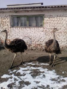 Продам молодняк страусов