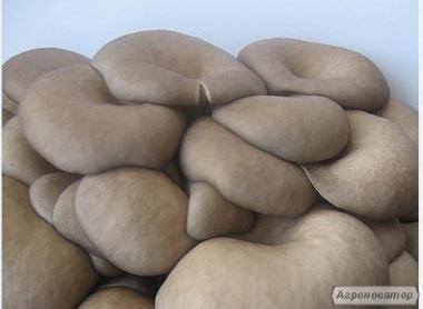 Міцелій (насіння) грибів Вешенка, мішки для вирощування, технологія
