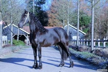 Верховые лошади породы Белорусская упряжная