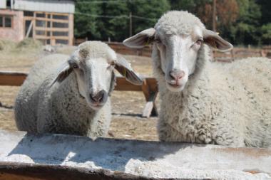 Продам вівці м'ясних порід, ГУРТОМ