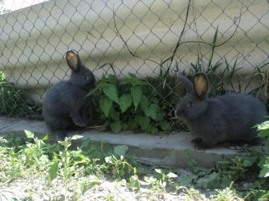 Кролики породи Віденський голубий