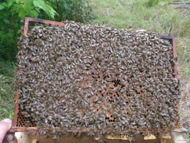 продам пчелопакеты 2018 .тел. 0675894844