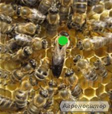 Високоякісні бджоли. Матки-карпатки, тип Вучківський