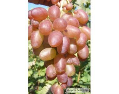 продам саженцы винограда нинель и рошфор