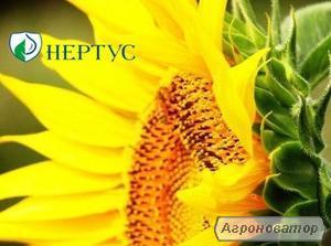 Семена подсолнечника НС-Х-498, Нертус Агро, Сербия