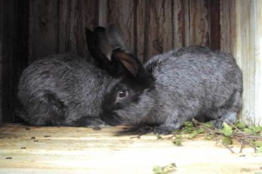 кролів полтавське срібло