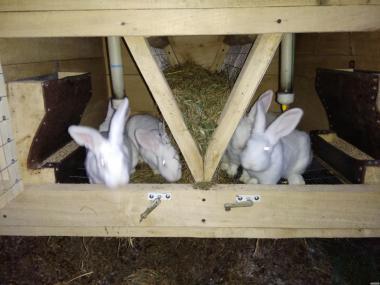Продам кролики Термонської породы. Кролики термонці. Термони