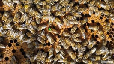 Пчелиная Матка, бджоломатки карника, матки пчелы плодная Карника