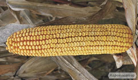 Кукуруза МТ261 ФАО 250
