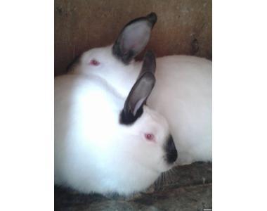 Кролики каліфорнійські