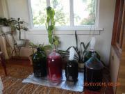 молоде вино зі смородини,порічки,малини