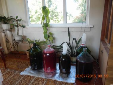 молодое вино из смородины,красной смородины,малины