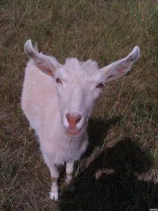 Продам коз породы Зааненскої