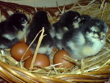 Продам суточных цыплят Джерсийский гиган