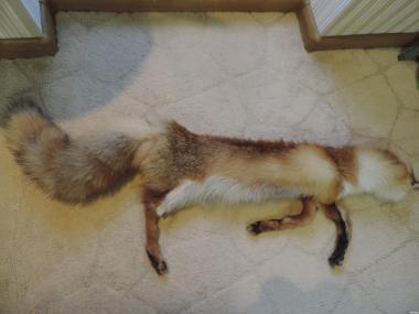 Продам шкурку лисы.