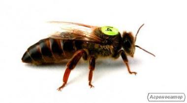Карника,Бакфаст  пчеломатки.