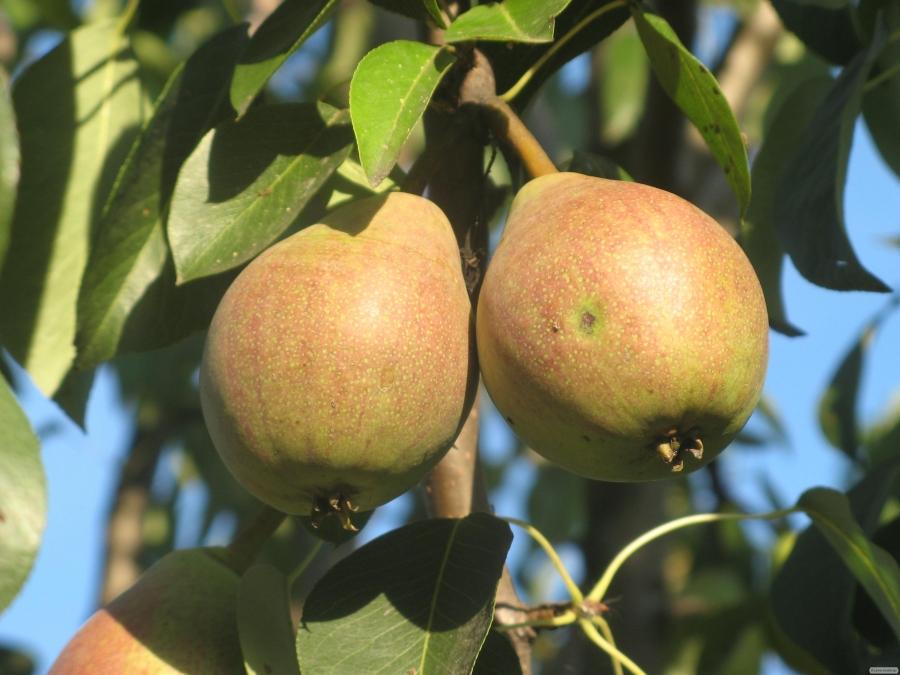 Саджанці груші, різні сорти