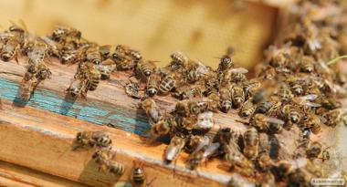 Пчелосемьи, пчелы (Дадан, Рута) 2020 Луганск, ЛНР