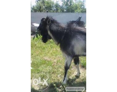 племінний козел козенята