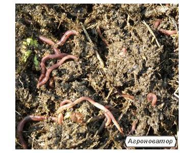 Червоний Каліфорнійський черв'як (вермикультура)