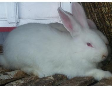 кролики белый панон