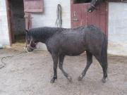 пони- жеребята шетлендские