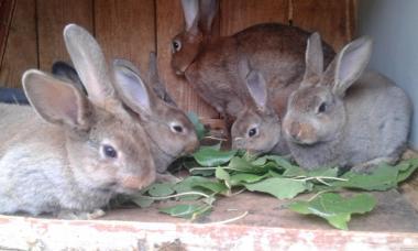 Продам кроликів породи рекс