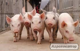 Поросята, ремонтні свинки, кнури, спермопродукція