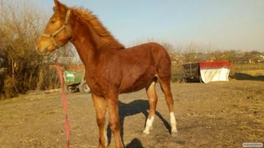 Продам коня-кобилу