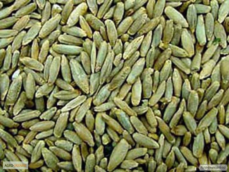 Семена ржи озимой - сорт Северское, 1-я репродукция