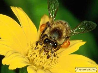 Продаю пчеломатки Карпатской породы 2017г с доставкой по всей Украине.