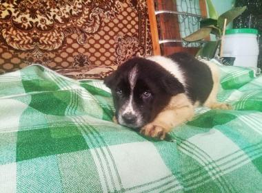 Продаю щенков Кавказской овчарки (САО, Алабай)