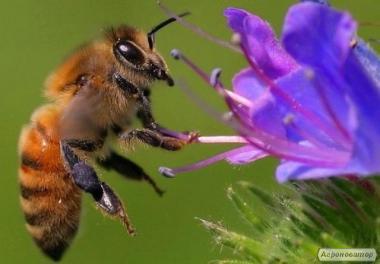 Продажа пчелопакетов