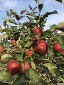 Продам яблоки из своего сада