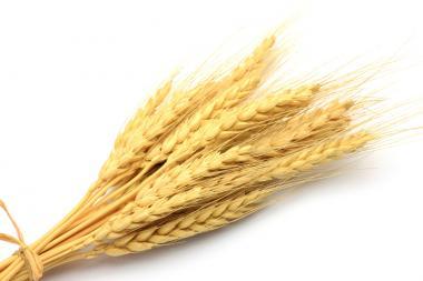 Озимая пшеница Смуглянка, 1Репр
