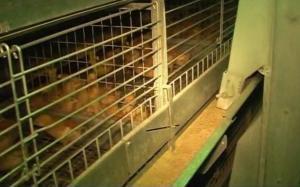 Кліткове обладнання для вирощування молодняку курей-несучок ОАРМ