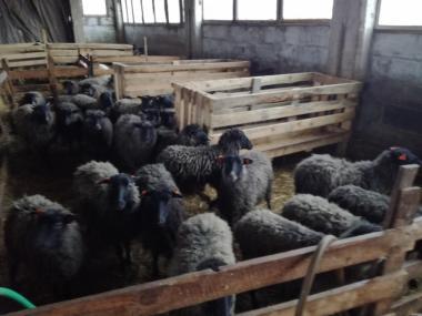 Овцы породы другая