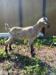 Продам козла заано-нубийской породы