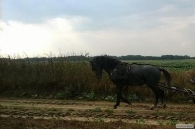 Верхові коні