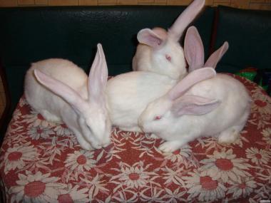 Продам кроликов белый великан