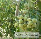 Посадочный материал грецкого ореха сортов Идеал, Кочерженко,Иван Багря