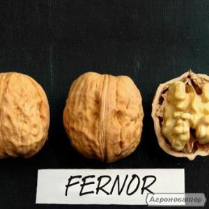 Саджанці волоського горіха FERNOR